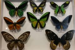 Schmetterlingsmuseum 009